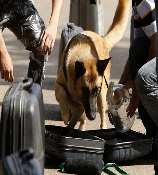 A trained sniffer dog detects a bomb inside a bag as part of its training during a certification ceremony for Internal Security Forces members, who trained dogs to detect bombs and drugs, for the security of Beirut international airport in Beirut September 11, 2009. REUTERS/ Jamal Saidi   (LEBANON MILITARY ANIMALS)